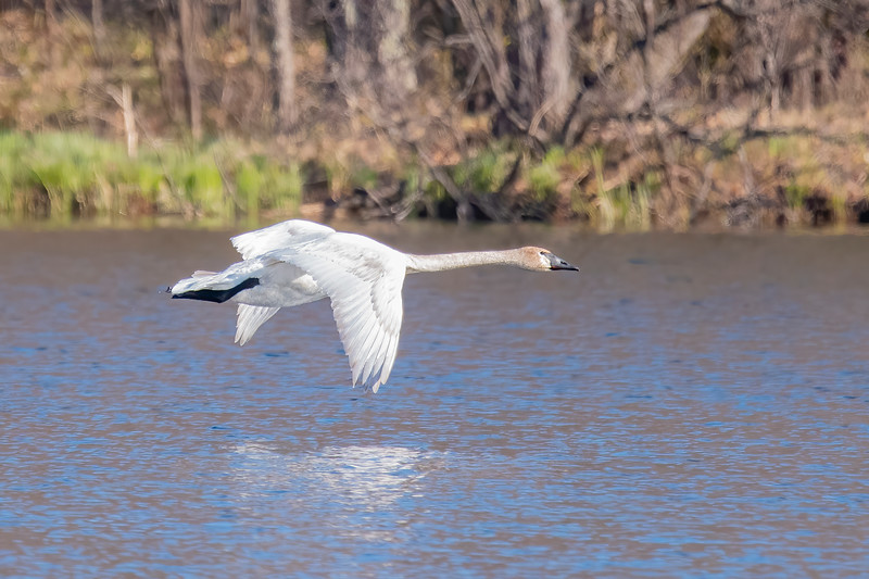 Earlier this summer we had several Trumpeter Swans visiting our lake to feed in the shallow water.  We haven't seen them since the beginning of June.  I think that means they had a nest in some other location and needed to stay there with their cygnets (baby Swans.)