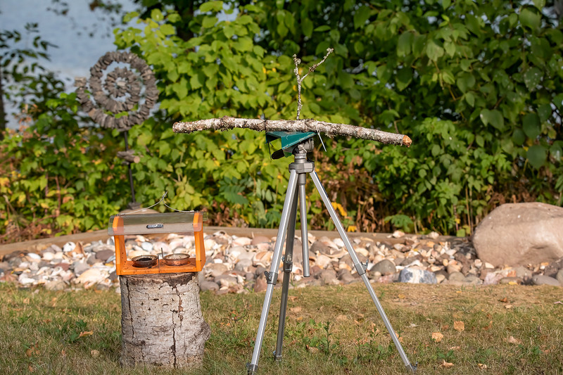 Here's the story of how I got some Baltimore Oriole photos at our lake home in northern Minnesota.  We still have at least five Orioles coming to this jelly feeder.  It normally hangs on a wire with our other bird feeders.  These Orioles are building up their fat reserves for their migration to Central and South America.  I put the jelly feeder on a stump.  Next, I attached two birch sticks to an older tripod and placed it so I would have a nice green background.