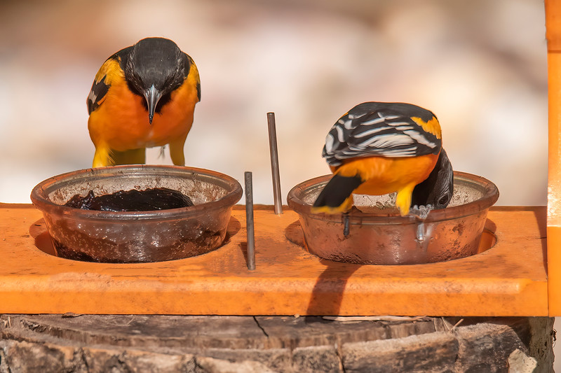 How did I know that we had five Orioles?  First, I saw two adult males still in full breeding plumage at the feeder together.