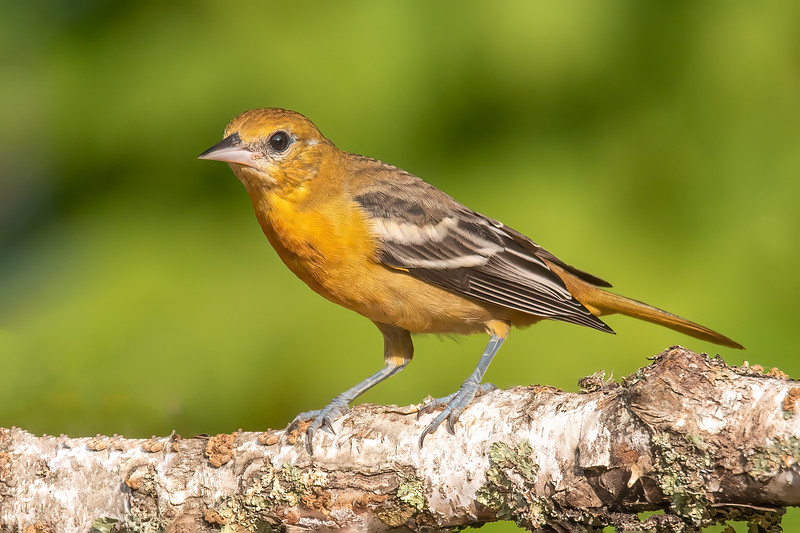 Next, I saw this bird which is either a female or a juvenile.  Notice that the white wing bars form two solid lines.  That makes four Orioles.