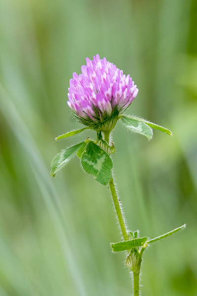 Red Clover is originally from Europe and is often grown as a crop by farmers.  It also escaped into the environment and is often considered to be a wildflower.