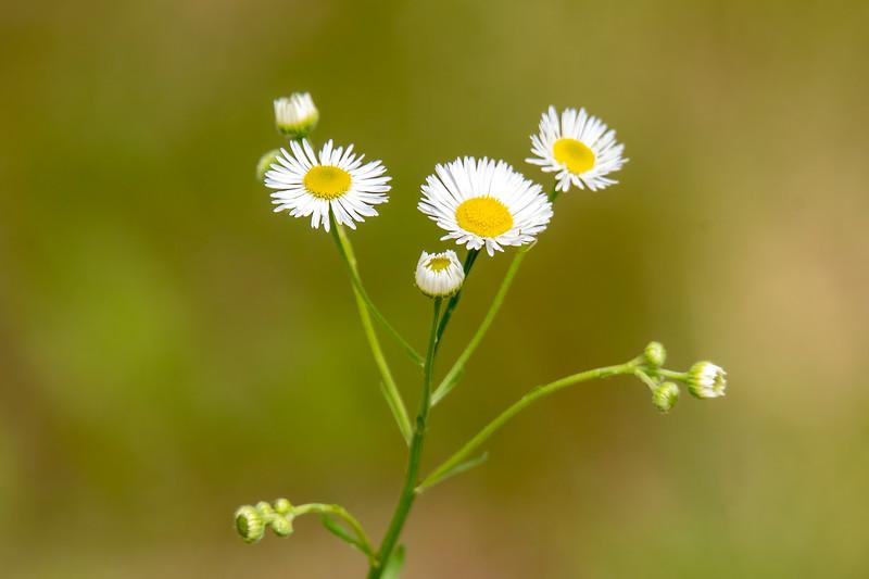 Daisy Fleabane has up to 100 thin white rays, surrounding a bright yellow center.