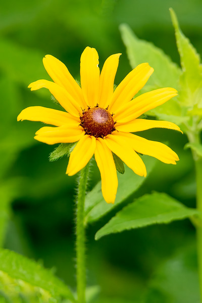 Black-eyed Susan is probably more accurately described as Brown-eyed Susan.  In fact, I have found it listed in wildflower guides using either name.  It is a bright, cheerful addition to our garden with its 10 to 20 yellow petals surrounding a brown center.