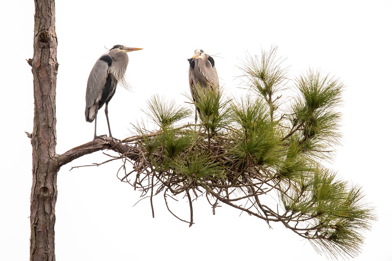It's Valentine's Day, a perfect time for a bird romance story.  Here on St. George Island, in northern Florida, there is a small colony of Great Blue Heron nests.