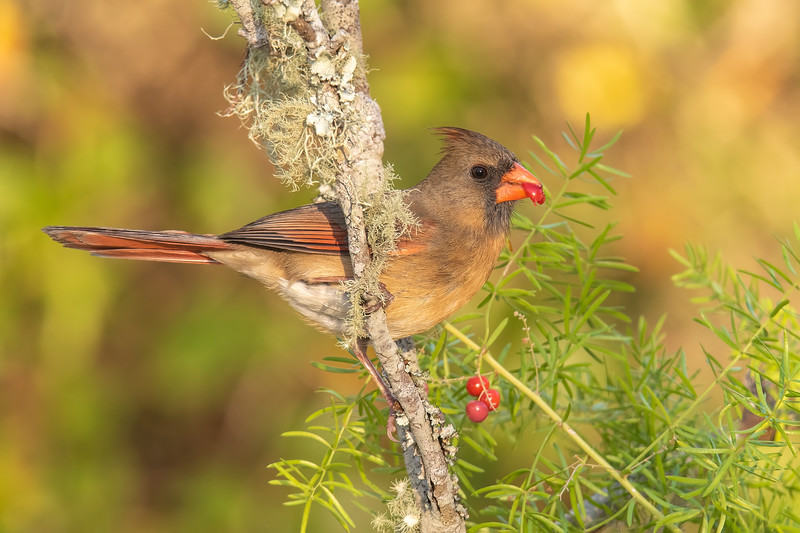 Birds, however, are not paid models, so they don't necessarily do what I want them to do.  They found the berries more attractive than the bird seed.  Here's a female Northern Cardinal crushing a berry with her powerful beak.