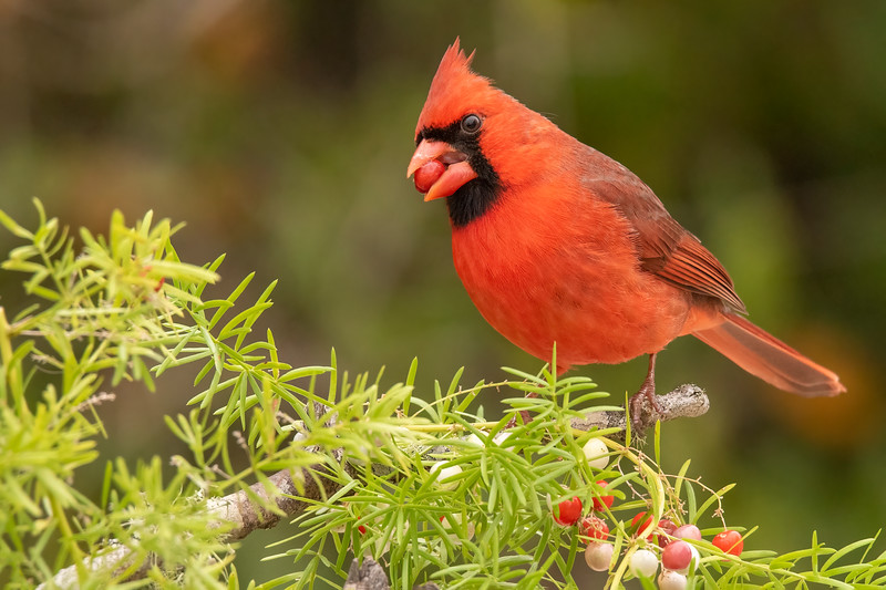 A male Cardinal also came by to pluck a berry off my carefully arranged set up.