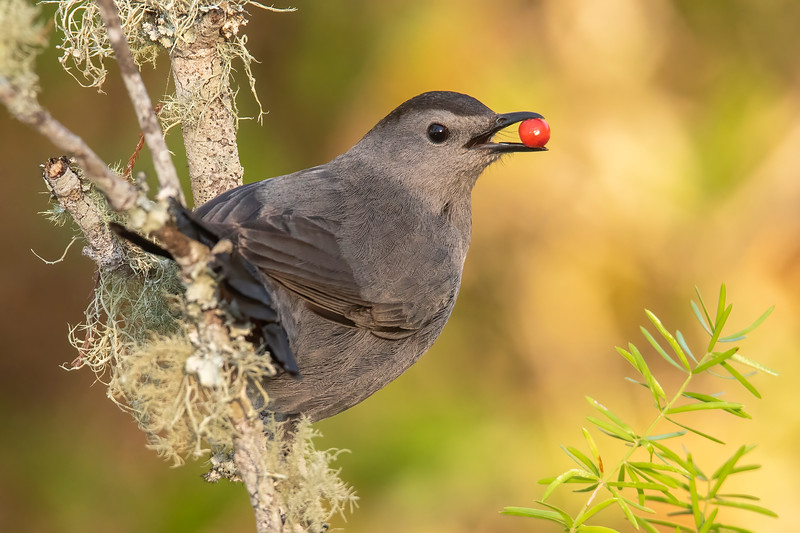 A Gray Catbird gave me a really nice pose holding a berry in its beak.