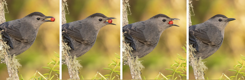 My camera can take six frames per second, so I often shoot a burst of photos when interesting behavior is happening.  Here's a sequence of photos showing the Catbird gradually working a berry into its mouth and swallowing it whole.