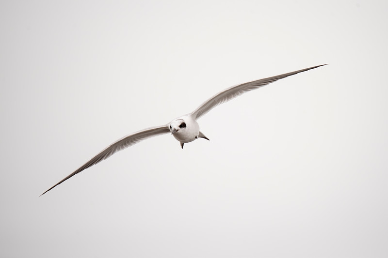 During our visit to St. George Island, Florida, this winter, I was photographing birds at the west end of the island where this Forster's Tern put on quite a show.  It's a medium-sized tern, only 13 inches long.  This photo makes it look bigger because you get the full effect of its 31-inch wingspan.