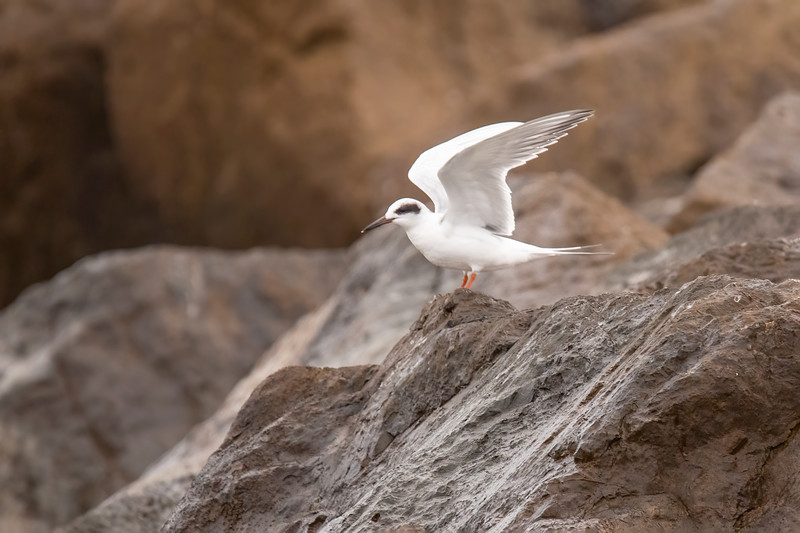 It kept flying for most of the time I was watching, but it did land on the rocks a couple of times.