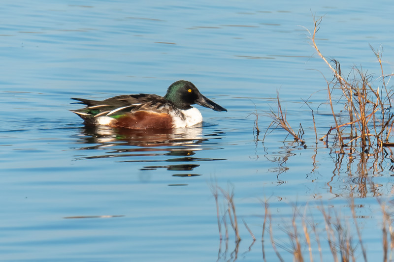 The Northern Shoveler looks a lot like a Mallard, but look at the size of that bill!  Surely that huge bill must have been the inspiration for the name Shoveler.  It uses its bill to strain food from the water of the ponds it inhabits.  Shovelers are about 19 inches long, and this is a male.