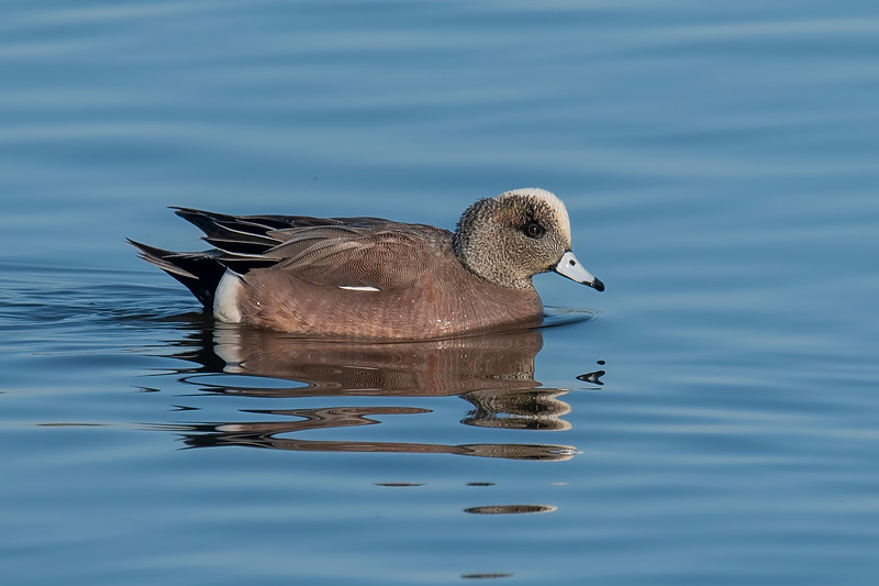 This is a male American Wigeon.  It's about 20 inches long.  A male usually has a thick, bright green stripe running from its eye down the back of its neck.  This one is missing that green stripe so It might be a first-year male who has mostly molted into adult plumage but just hasn't quite finished.