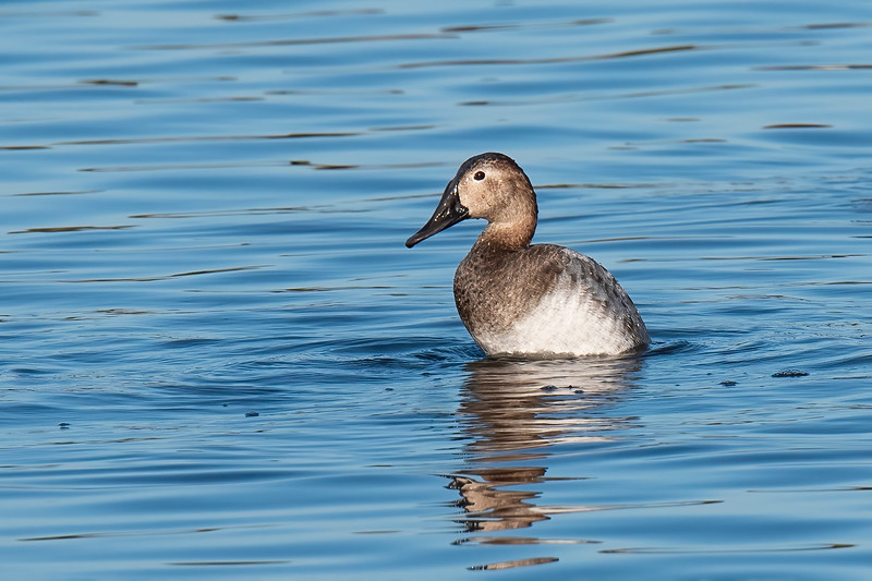 This is a female Canvasback.  Her vertical posture is a result of stretching her legs down to stir up the mud at the bottom of the pond.  She also has a long, sloping, dark bill like the male.