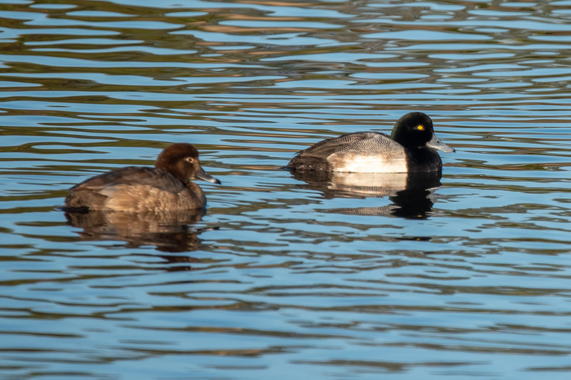 I managed to get both a male and female Greater Scaup in the same photo.