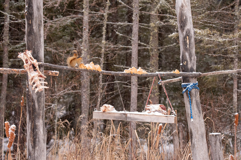 The Friends of Sax Zim Bog also host some feeders at various places in the bog.  This one is located on Admiral Road.  It has gobs of peanut butter on the horizontal stick and a set of deer ribs hanging from the left side.  As usual, Red Squirrels are happy to share the food with the birds.