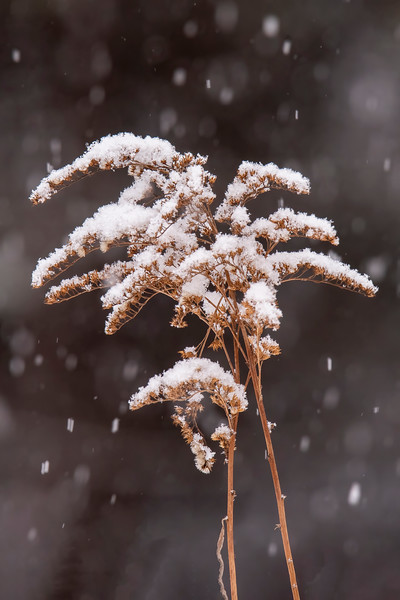The dried wildflower stalks were decorated with a fresh coat of snow.