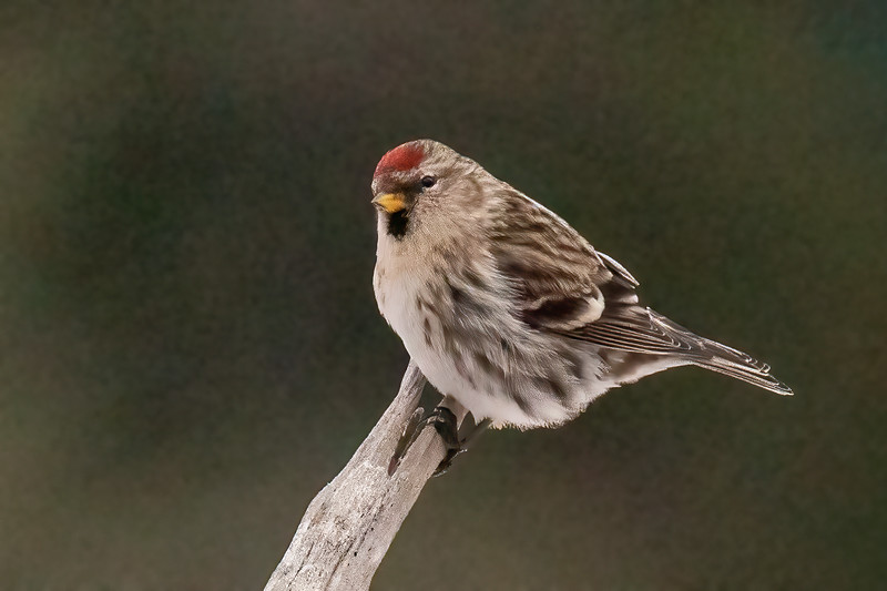 Last year we didn't see many Common Redpolls in Minnesota, but this year they are much easier to find.