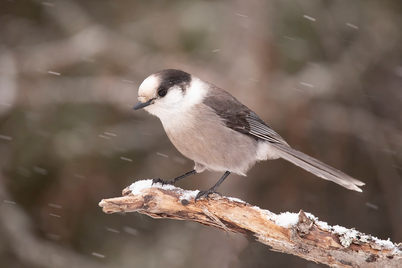 I was pleased to have a couple of Canada Jays show up at the Admiral Road feeders.  As you probably know, they used to be called Gray Jays until the name was changed in 2018.