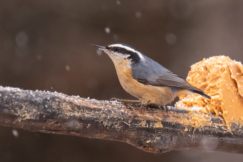 A Red-breasted Nuthatch was also interested in the peanut butter.