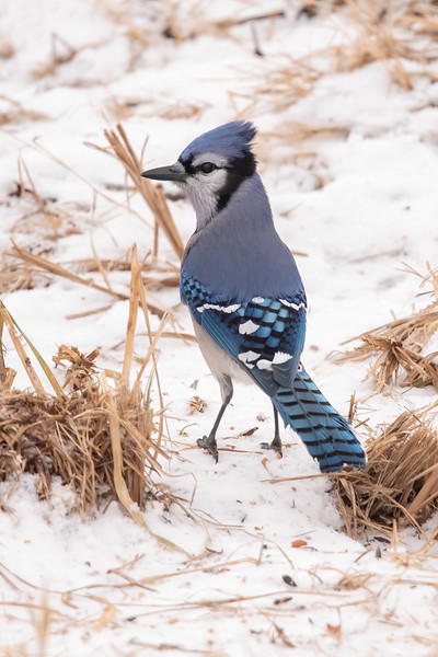 Blue Jays can be skittish and hard to photograph.  But at the Winterberry Bog, they were just intent on eating sunflower seeds and basically ignored me.