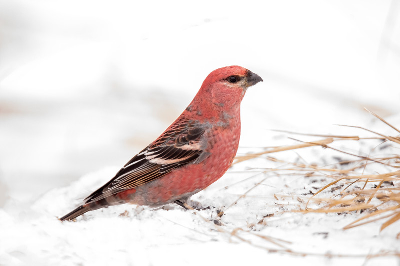 Many Pine Grosbeaks made their way south to Minnesota this year.  This beautiful male was eating sunflower seeds on the ground at the Admiral Road feeders.