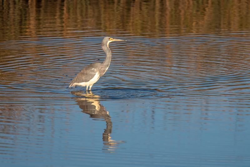 Another common bird seen at the refuge is the Tri-colored Heron.  It stands about 26 inches tall and is often seen running after fish in shallow pools.