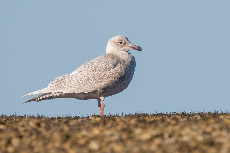 The star of the show this year at St. Marks is this Iceland Gull.  It's very rare to see one as far south as Florida, and I read that it is the first one ever recorded at St. Marks.  It's a first-year bird so its white feathers still have tan edges.