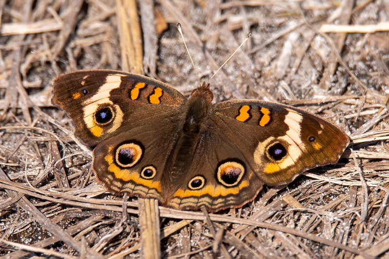 This beautiful butterfly is a Common Buckeye.  It can be found year-round in Florida.  It has a wingspan of 1¾ to 2¾ inches (45 to 70 mm).  During summer, some of them migrate north and can be found as far north as southern Canada.  I have seen and photographed one in far northeastern Minnesota.