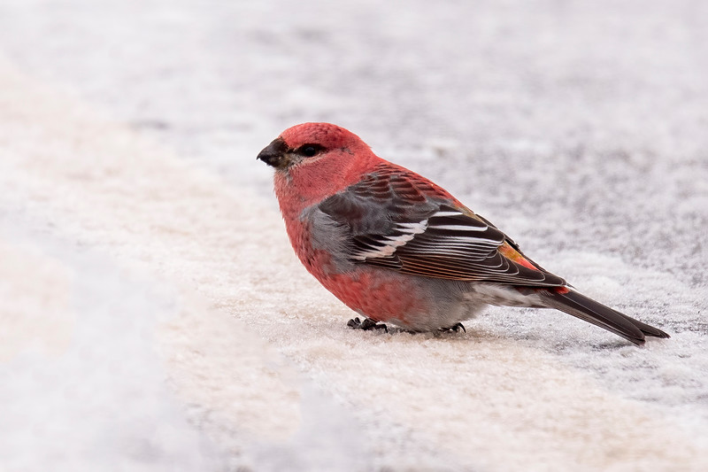 This year, many winter finches are showing up in Minnesota. I was fortunate to find four male Pine Grosbeaks.