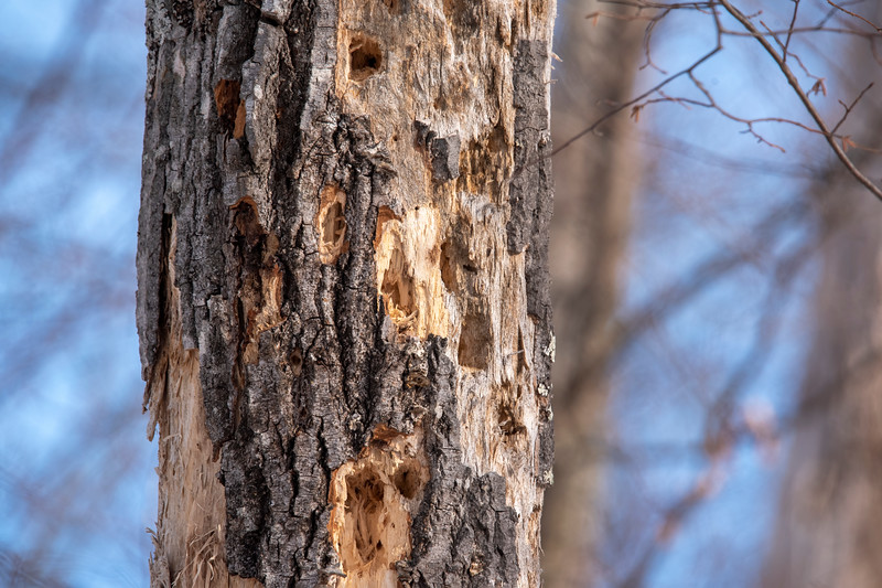 I saw two Downy Woodpeckers, two Hairy Woodpeckers, and three Pileated Woodpeckers but didn't get photos of them. So, I'll just use this photo of a dead tree that has obviously been visited by woodpeckers to represent them.