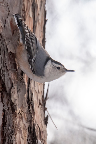 I also counted nine White-breasted Nuthatches.