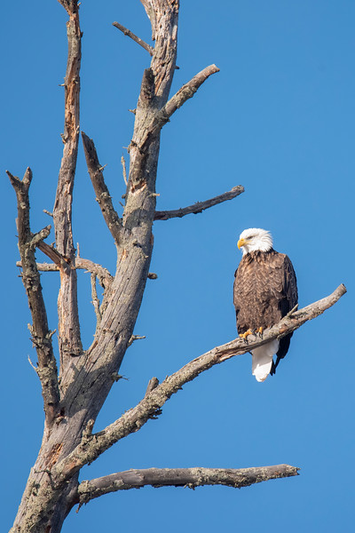 The only Bald Eagle I saw was perched in this picturesque snag with a beautiful blue sky behind it.
