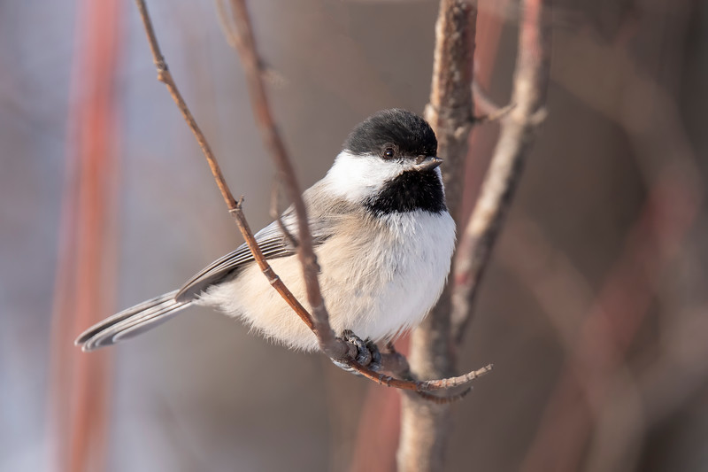 """On Sunday, December 20, 2020, I participated in the Grand Rapids Minnesota Christmas Bird Count. The Christmas Bird Count is a nationwide, 121-year-old citizen science project sponsored by the Audubon Society. Here's a link if you would like more information about it. <a href=""""https://www.audubon.org/conservation/science/christmas-bird-count"""">https://www.audubon.org/conservation/science/christmas-bird-count</a>. Near the end of each year, volunteers split up the area within a 15-mile diameter circle and count all the birds they see on one day. As you might expect, many common birds are seen and counted. In my section, I counted 45 Black-capped Chickadees. Combining the counts from all participants, our circle had over 400 Chickadees."""