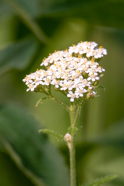 Yarrow produces a large, flat group of white flowers.