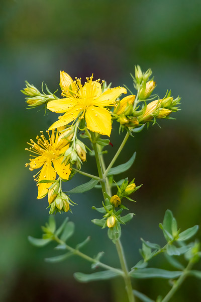St. John's Wort produces many flowers on each stem.  It has a large group of stamens that stand up above the five petals