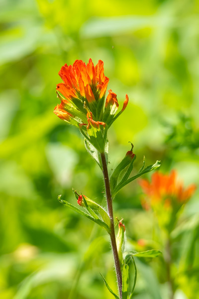 Indian Paintbrush is starting to establish itself in our garden.  We started out with just one or two plants, and this year we have about a dozen of them.