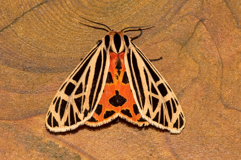 That hint of color in the previous photo turns out to be the orange and black pattern of the hind wings.  It has a wingspan of just over two inches.