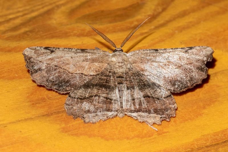 Common Lytrosis is the name of this moth.  It has a two-inch wingspan.  I can imagine this moth virtually disappearing if it rests on a tree with rough bark.
