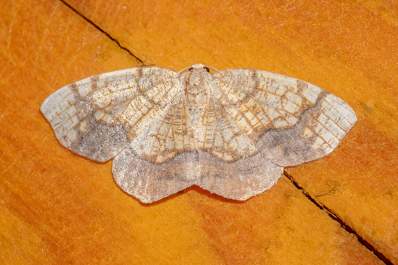 The Horned Spanworm has an intricate pattern of lines on its wings.  It has a wingspan of about an inch.