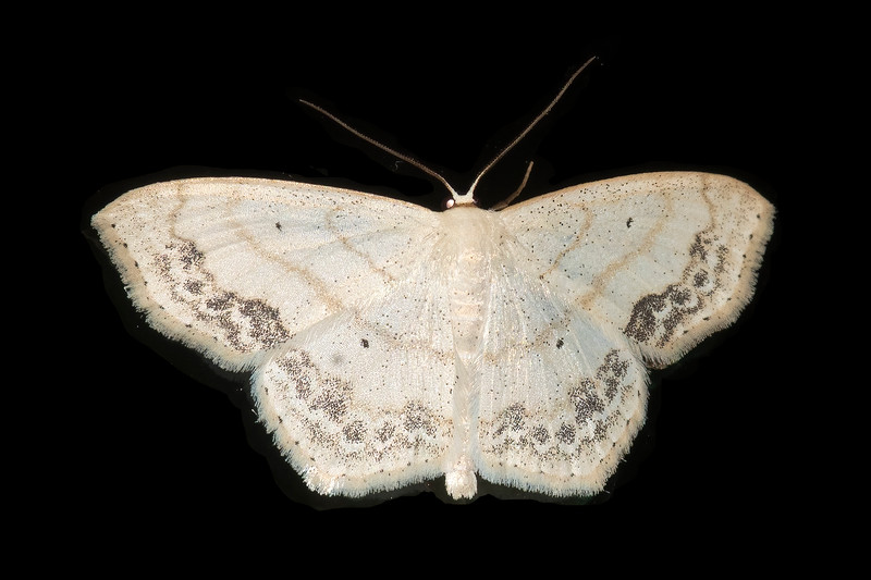 Sometimes common names of moths don't seem to make sense.  This Large Lace-border moth, however, seems very appropriately named.  It has a one-inch wingspan, and all four wings have a dark, lacy border.