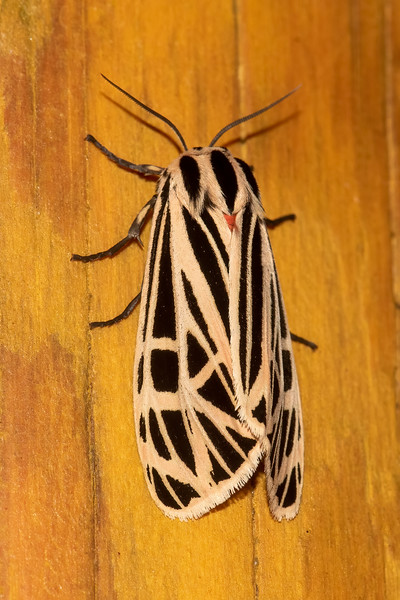 This Virgin Tiger Moth has an intersecting group of tan lines on its black wings.  There is just a hint of color showing between the wings.  See the next photo for the full story.