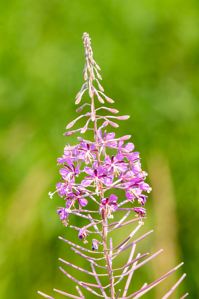 Fireweed is one of the plants that only opens a few of its blossoms at a time.  The flowers in the middle of this photo are open.  The ones above are waiting to open, and the ones below have already blossomed and gone to seed.