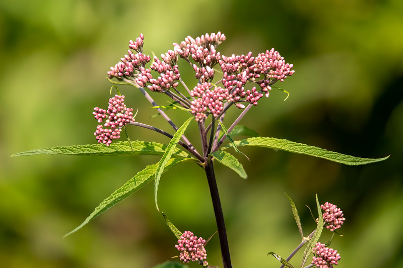 Joe-Pye Weed is a perennial wildflower that is found in Minnesota.  It grows three to five feet tall.