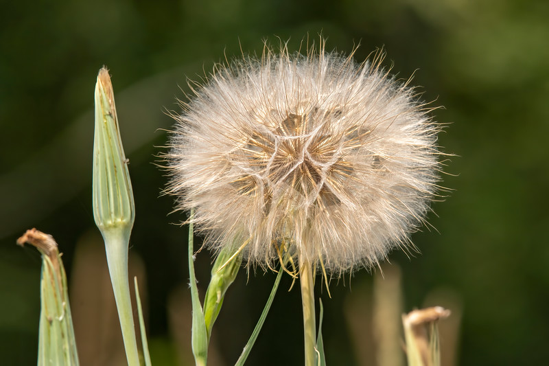 Goat's Beard has a yellow flower that opens early in the morning but closes before noon.  It later forms a huge seed ball like this one.  It's about six inches across and looks like a giant Dandelion.