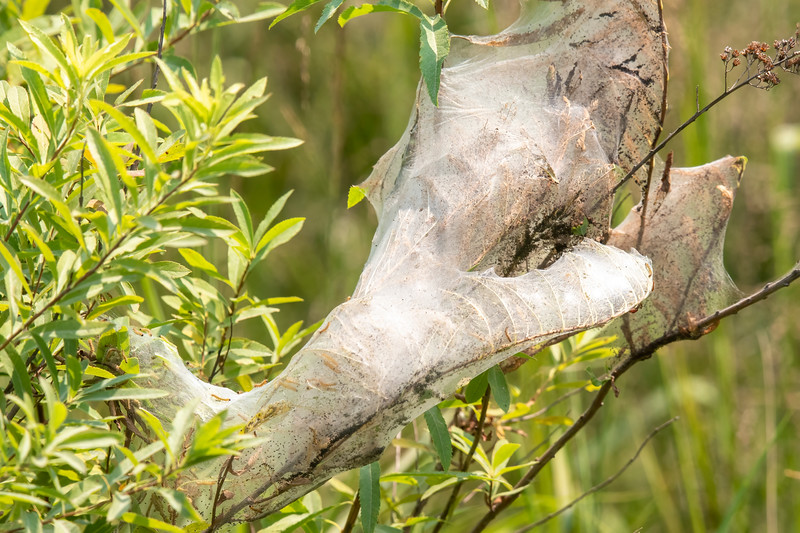 I saw several of these large, web-like structures along Lake Nichols Road.  I was sure it was made by a group of caterpillars, but I didn't know which species.  I sent a copy of this photo to Clinton Dexter-Nienhaus, head naturalist for Friends of the Sax Zim Bog.  He confirmed that Fall Webworm caterpillars make these big webs.  He also said that Cuckoos like to eat these caterpillars.  (Nice transition back to the Cuckoos.)