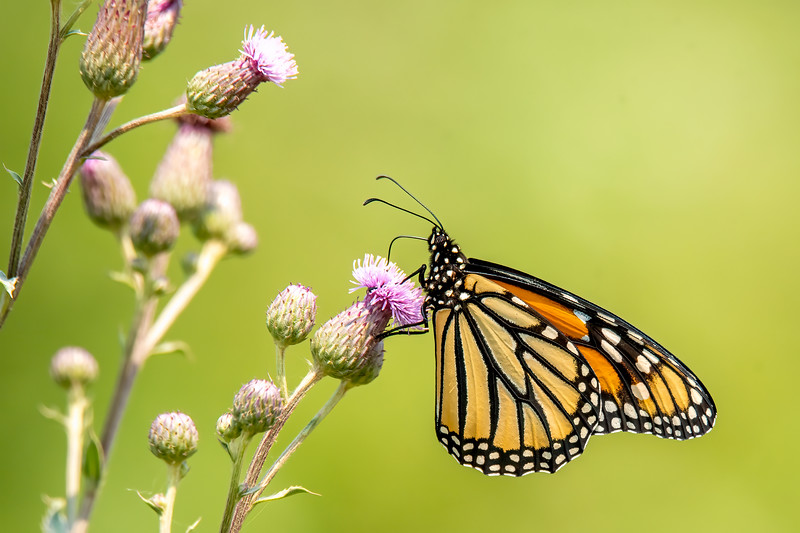 Several Monarch butterflies were gathering nectar from the abundant wildflowers.  This one is on a thistle flower.