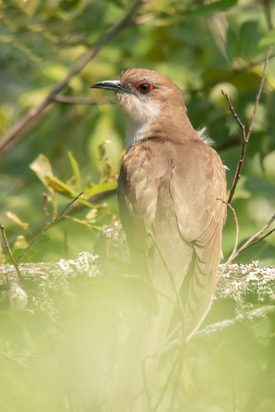 So, did I see the Yellow-billed Cuckoo?  No, but I did see this Black-billed Cuckoo and got a partially obstructed photo of it.  That made the trip worthwhile.