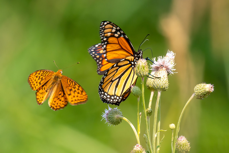 Apparently, the Monarch was encroaching on the territory of this Great Spangled Fritillary.  Even though it is much smaller, the Fritillary attacked the Monarch and drove it away.