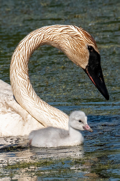 Baby animals are always cute, and here's an adorable photo of an adult and one cygnet.  The adults pull up plants from the bottom of the pond, so their feathers get stained from the mud.