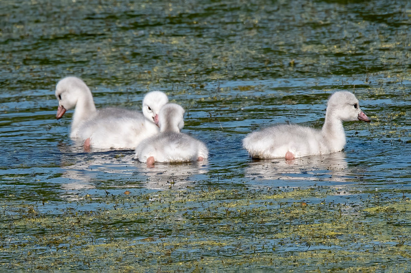Here's a closer look at the cygnets.